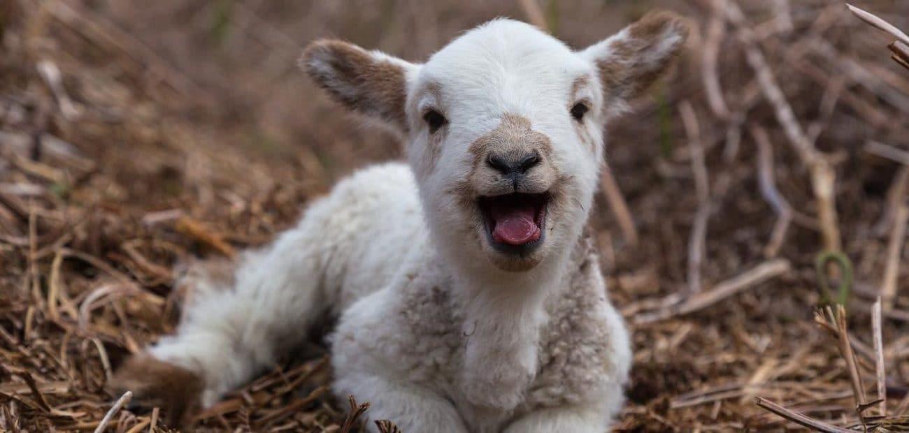 agneau signification reve